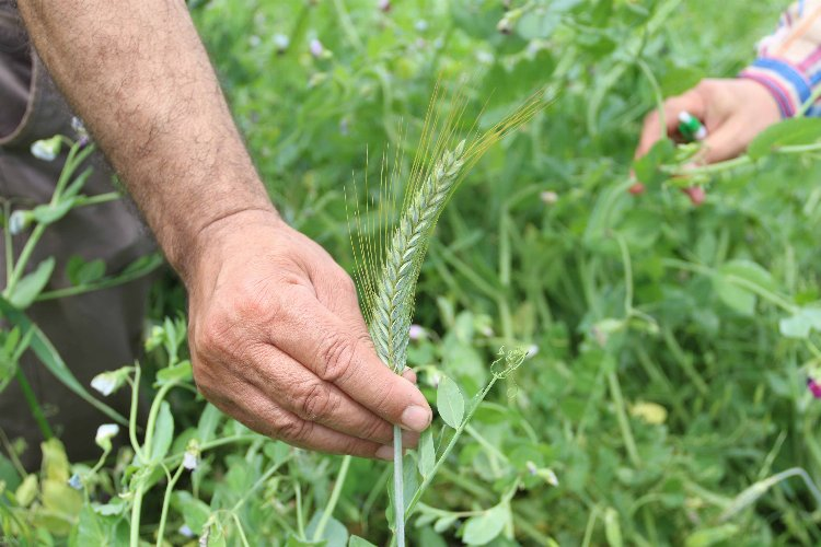 Kocaeli Büyükşehir'de 2700 üreticiye tohum desteği